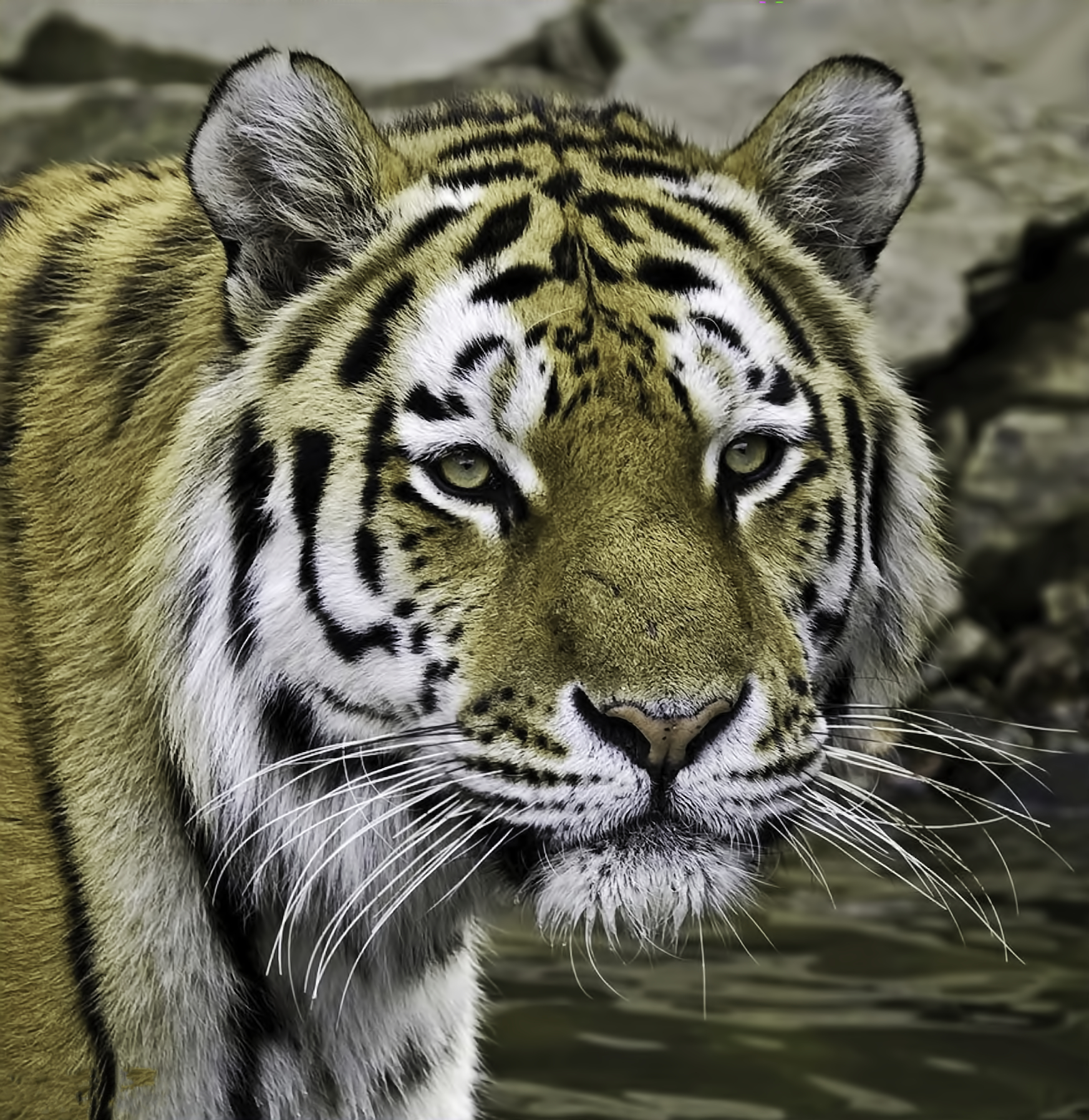 tiger, animal, endangered, predator, majestic
