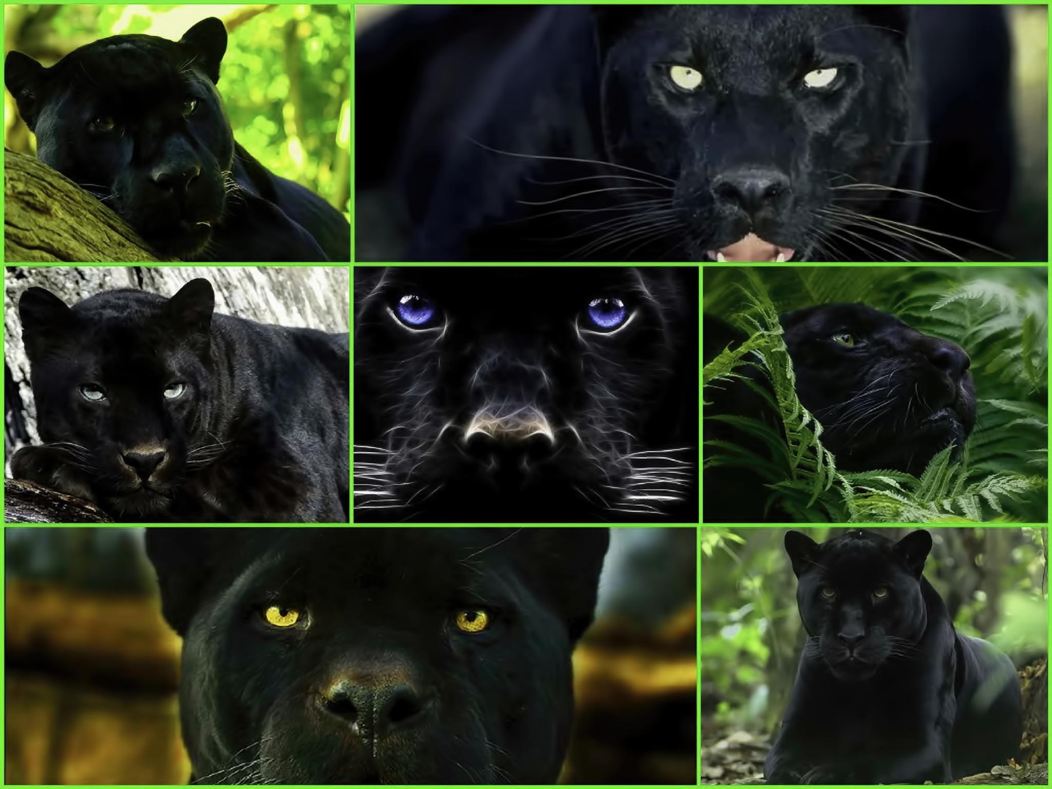 tiger, animal, endangered, predator, majestic